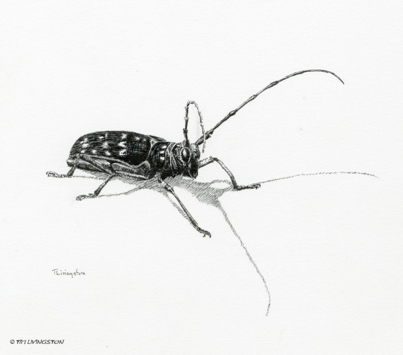 Pine Sawyer Beetle, pen and ink, pen, drawing