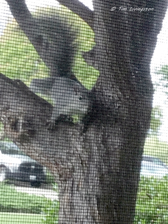 gray squirrel, stalker