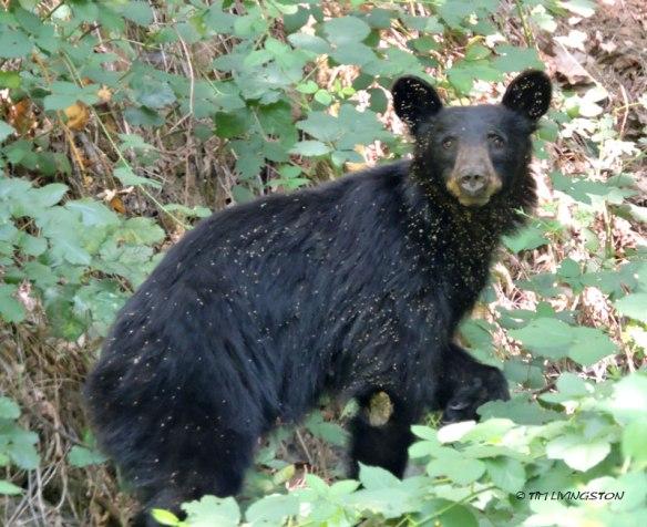 black bear, bear, wildlife, photography