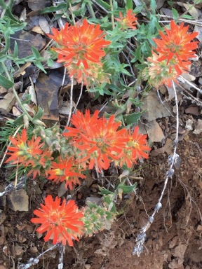 Indian Paintbrush, wildflowers