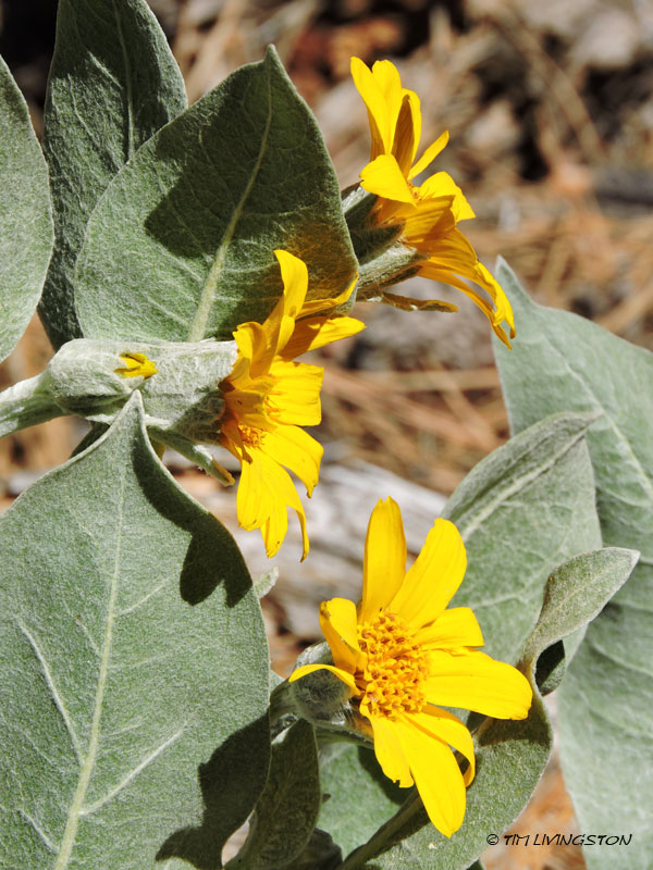 mule ears, wyethia, wildflower, wild, woolly mule ears