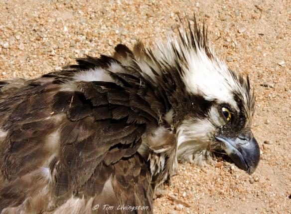 osprey, nesting, helicopter