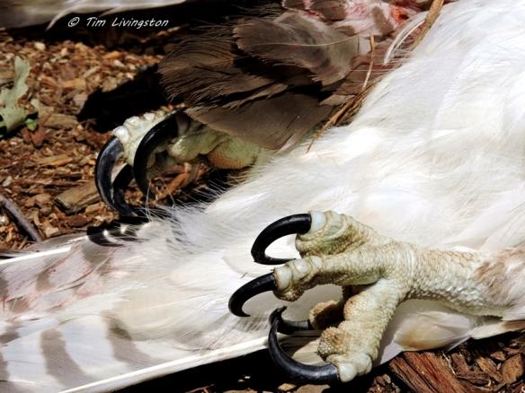 talons, osprey