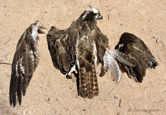 The osprey was cut to pieces defending it's nest.
