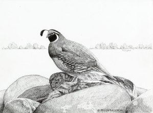 California valley quail, California quail, valley quail, quail