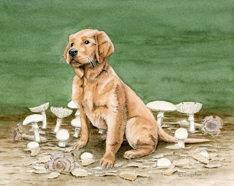Bliss, golden retriever, dog, puppy, poison, amanita ocreata, Destroying Angel