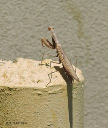 praying mantis, insect
