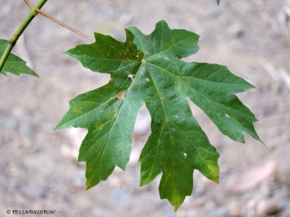 Bigleaf maple leaf.