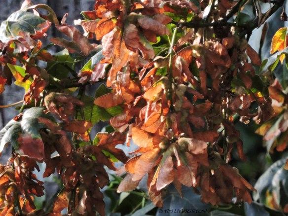 bigleaf maple, winged seeds, maple seeds