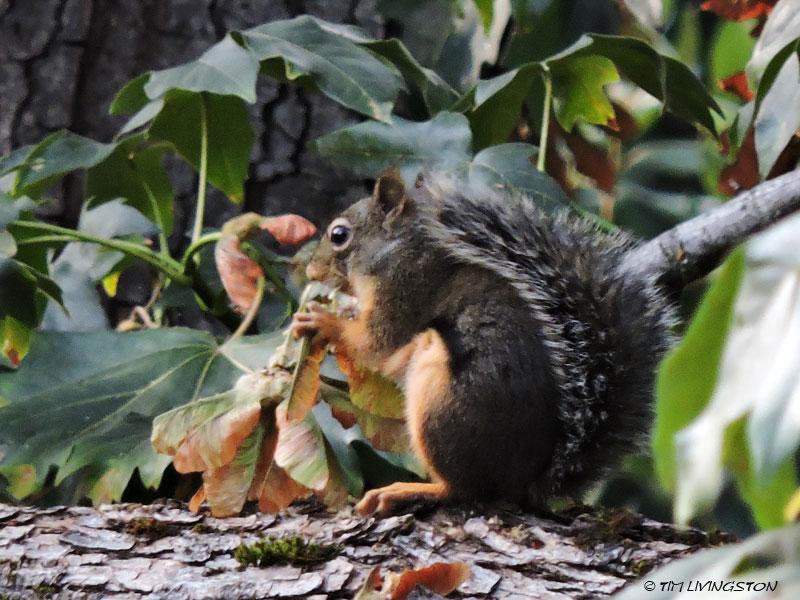 Douglas Squirrel, maple, bigleaf maple