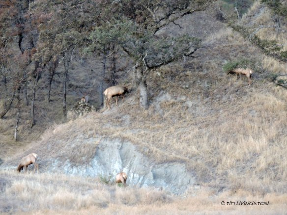 Tule elk, nature photography