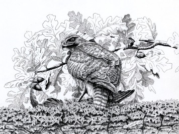 red tail hawk, hawk, pen and ink, ink