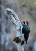 acorn woodpecker, grub, woodpecker, nature, photography