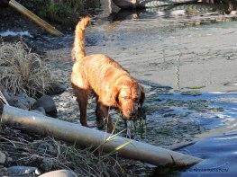otters, golden retrievers, dogs, retrievers, log pond, sawmill