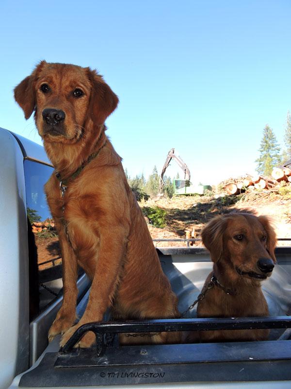 Bliss, Tasha, golden retriever, dogs