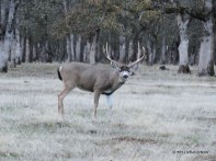 black tail, buck, deer, photography, nature