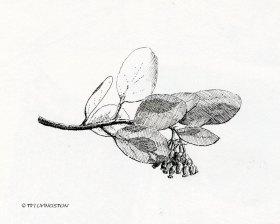 ManzanitaFlower001