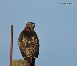 "Red tail ""stink eye!"""