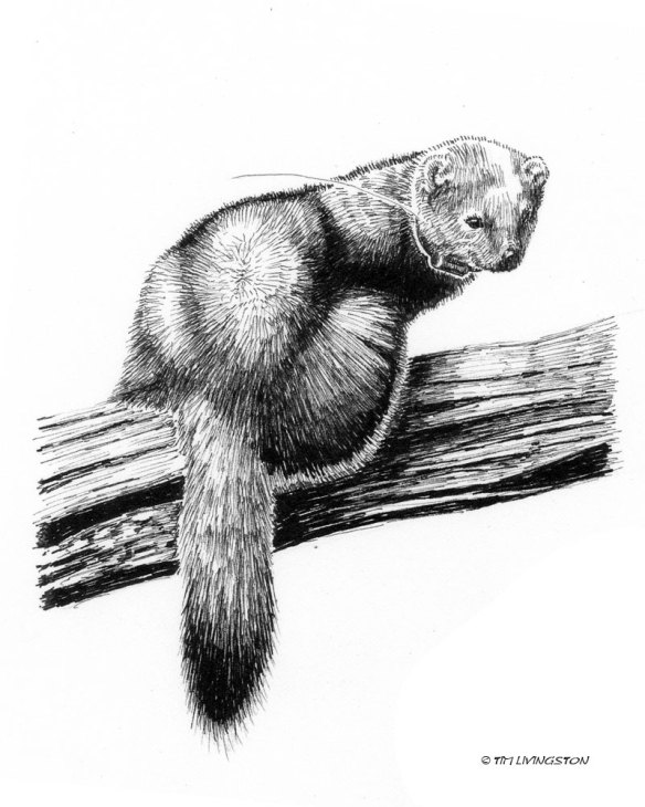 Pacific Fisher, pen and ink, Timber!, wildlife