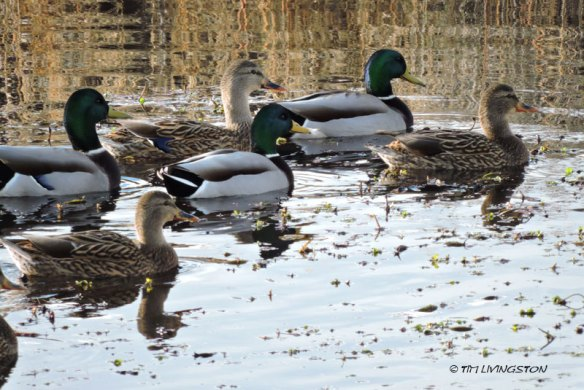 mallards, ducks
