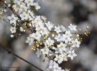 WildflowerSpring03