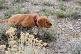 Phanny, golden retriever, puppy