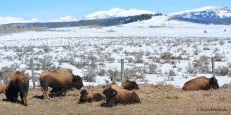 buffalo, bison, American Bison
