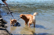 Phanny and Bliss playing in the Yellowstone River.