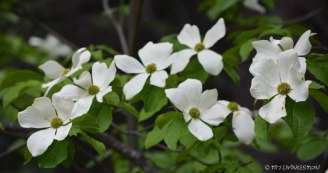 More Dogwood.