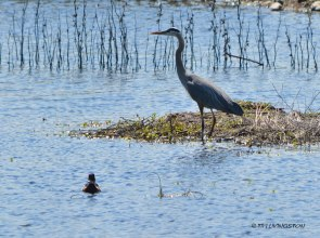 Great Blue Heron, Wood Duck