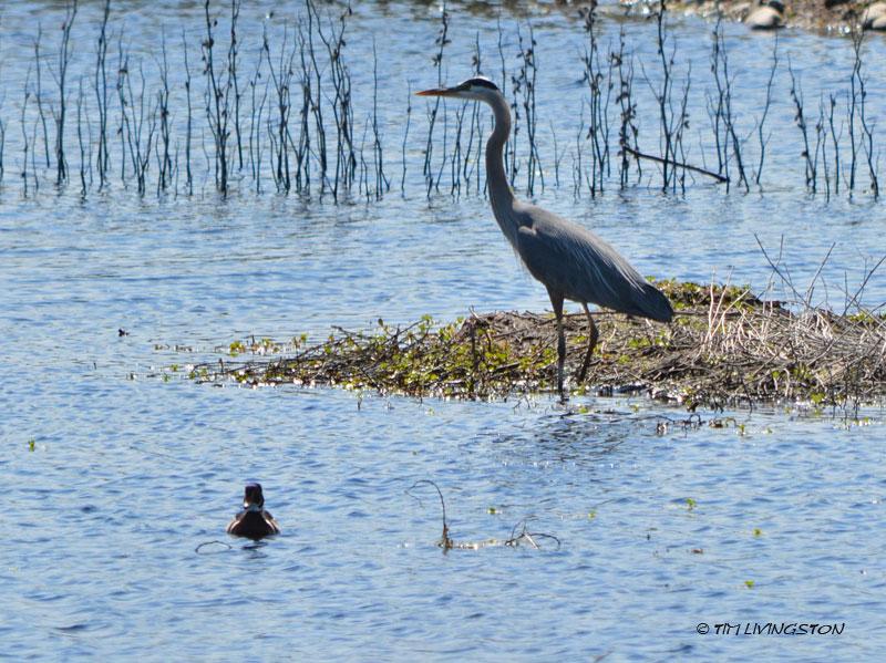Great Blue Heron, Wood Duck