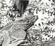 black bear,black tail deer, pen and ink, drawing, wildlife