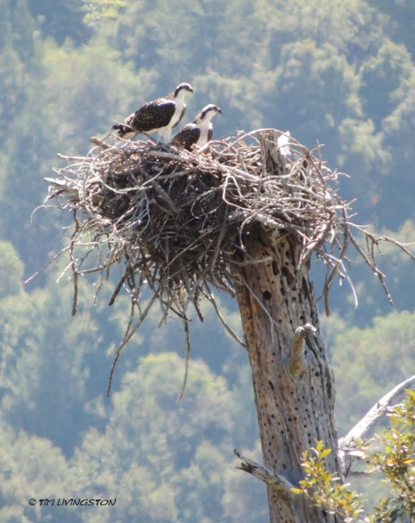 Osprey, fledgling, wildlife, photography