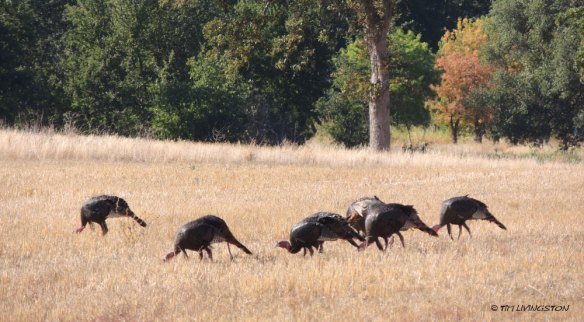 Turkey, wild turkey, Northern California, Thankgiving