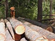 logs, logging, forester, golden retriever