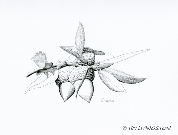 Canyon Live Oak, Oak, acorns, pen and ink