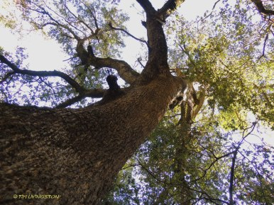 Canyon Live Oak, Quercus chrysolepis