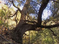 Canyon Live Oak