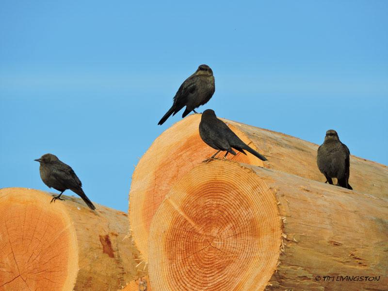 blackbirds, poles, birds, wildlife, nature, photography, sawmill
