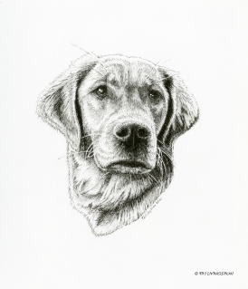 Golden Retriever, Bliss, pen and ink, pen drawing, drawing pet portrait