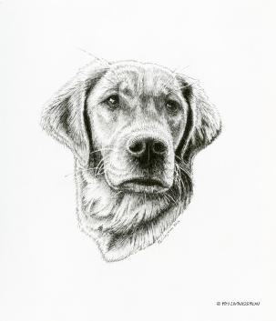 Golden Retriever, Bliss, pen and ink, pen drawing, drawing pet portrait