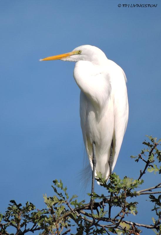 cattle egret, egret, birds, wildlife, nature, photography, sawmill