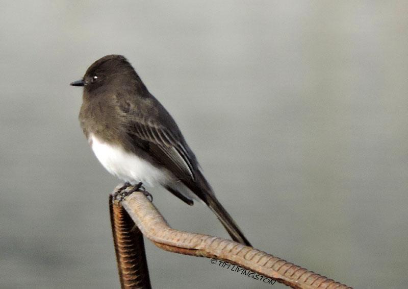 black pheobe, pheobe, birds, wildlife, nature, photography, sawmill