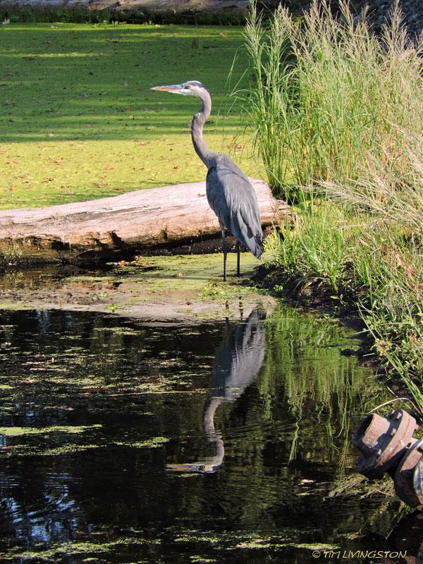 great blue heron, heron, birds, wildlife, photography, nature, sawmill