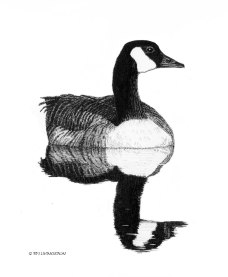 Canada goose, gander, birds, birding, pen and ink, drawing