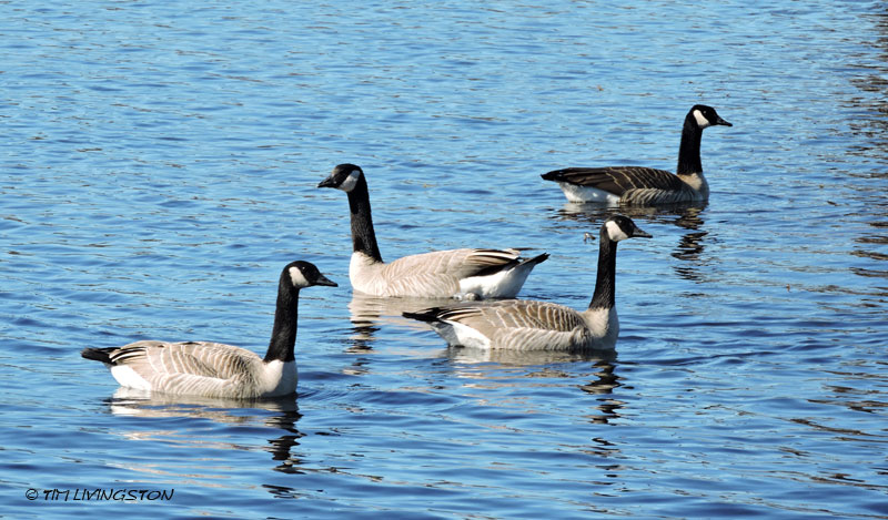 Canada Geese, honkers, photography, nature, birds, birding