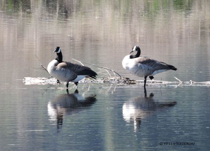 Canada geese, geese, wildlife photography, birds, birding