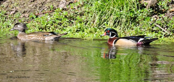 wood ducks, ducks, birds, wildlife, nature, photography, sawmill