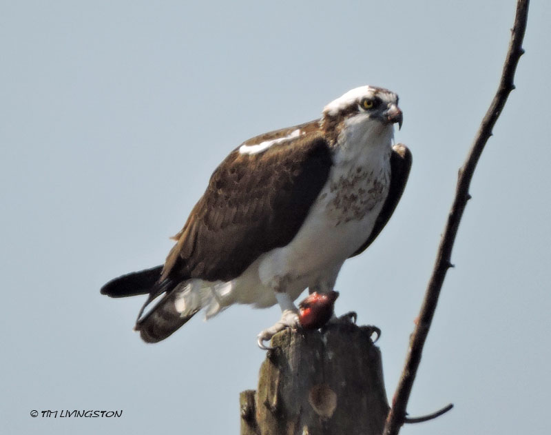 osprey, birds, wildlife, nature, photography, sawmill