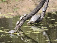 Turtle, turtles, Red-eared Slider Trachemys scripta elegans